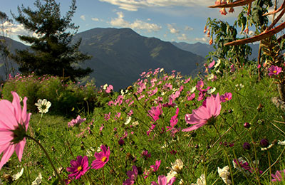 Ecuador landscape with pink flowers and mountains